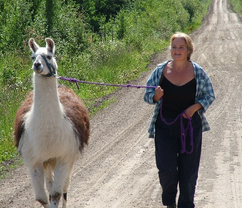 racing llama, head of the herd, llama