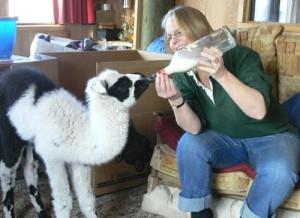 baby llama bottle feeding