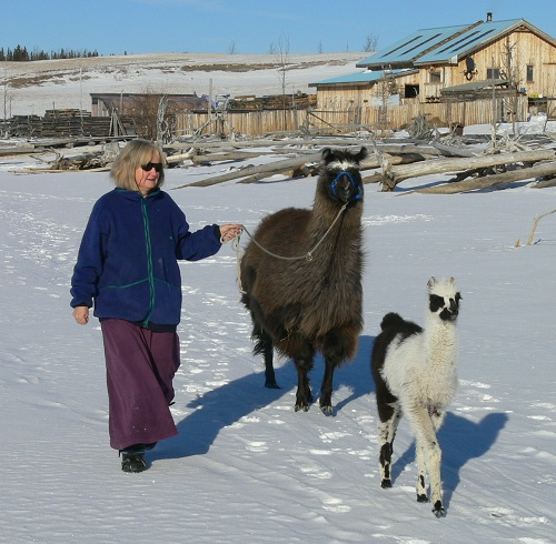 walking with llamas, llama walking
