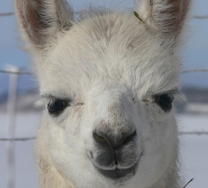 Challenging Times – Caring for Llamas