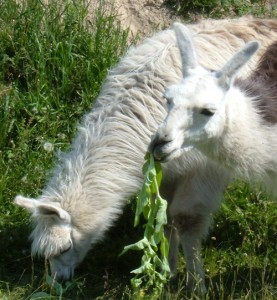 camelid, lips, interesting facts
