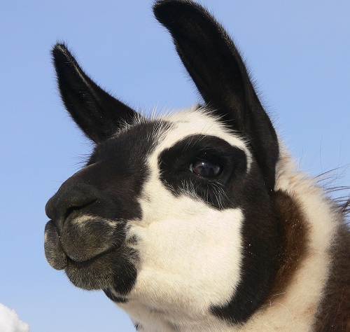 Factlet – Llamas Have Prehensile Lips