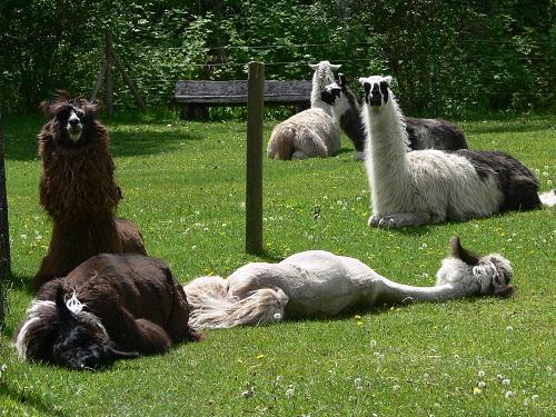 llamas, sun bathing, llama rescue