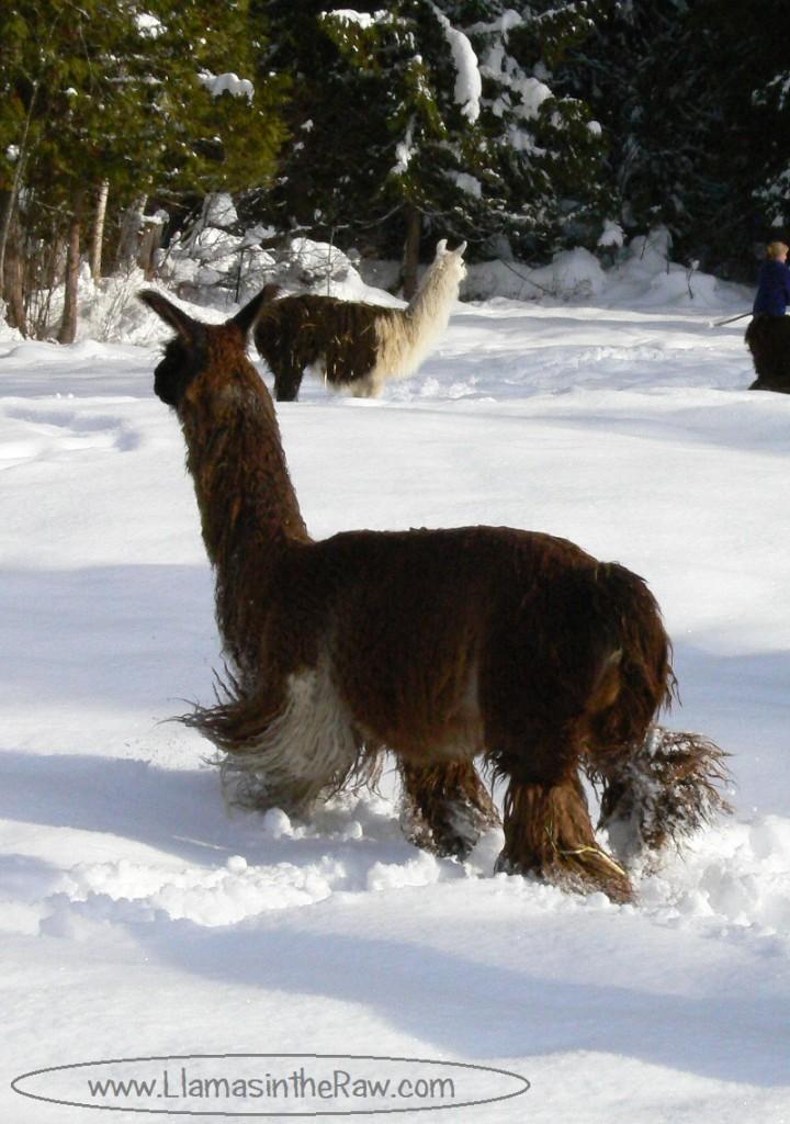 suri llama fiber